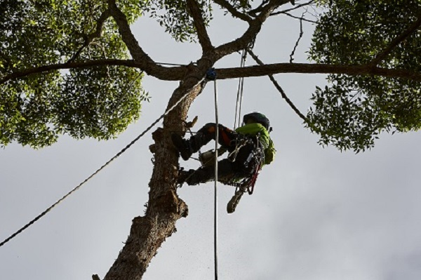 tree pruning sunshine coast - tree climbing, clearing, mulching, trimming, stump removal sunshine coast