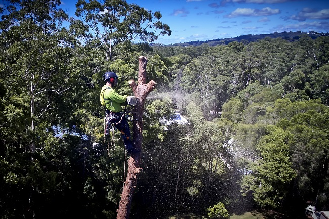 tree trimming sunshine coast - tree pruning cutting and climbing - tree removal in sunshine coast