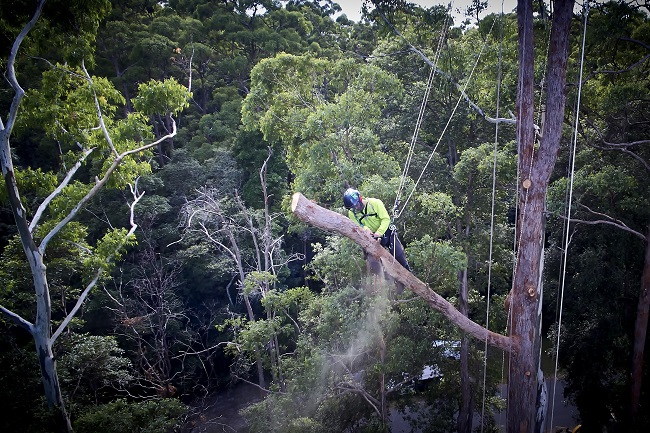 tree lopping hendra - tree removal mulching trimming pruning - stump grinding - tree services hendra qld